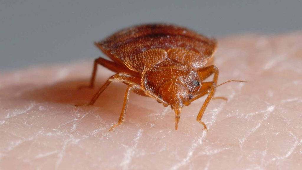 Scientific Insect Control Bed Bugs And Chagas Disease What Does